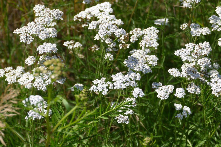 Schafgarbe in Blüte