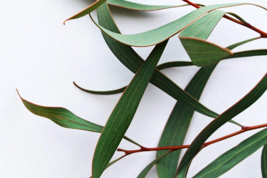 Eukalyptusblätter