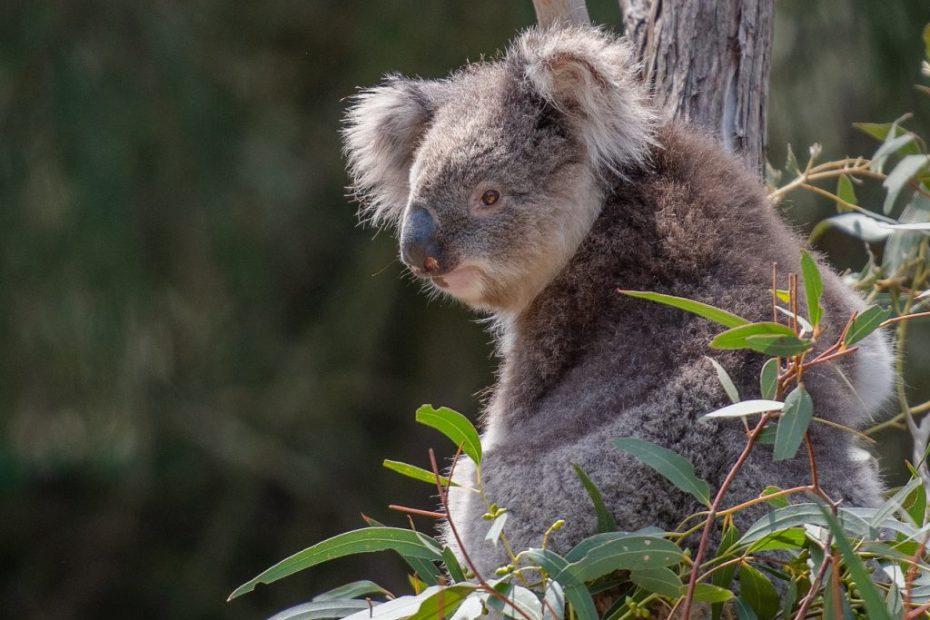 Koalabär im Eukalyptus