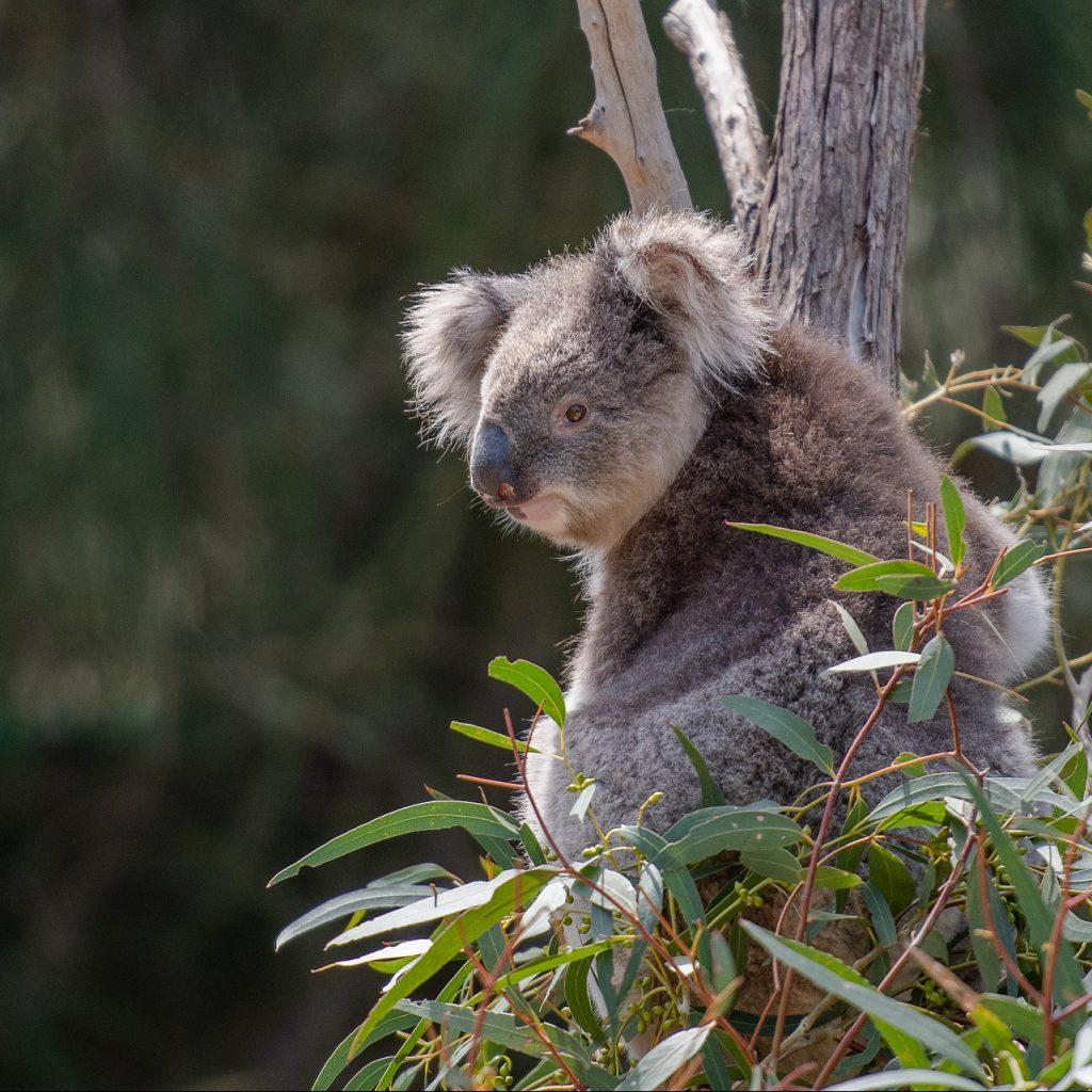 koala-4757210_1920-e1589638828201-1024×1024