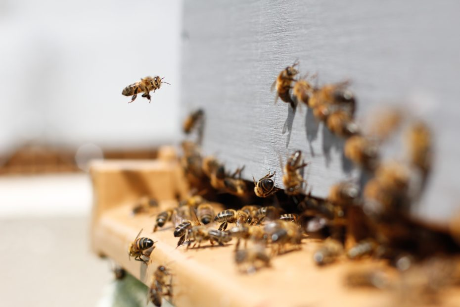 Bienen am Einflugloch zum Bienenstock
