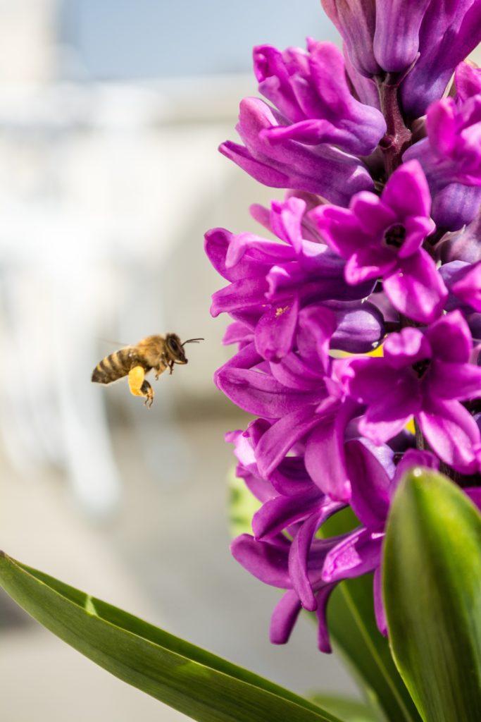 Biene mit Pollen an den Beinen vor einer Blüte