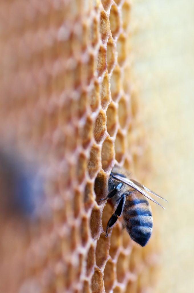Bienenwabe mit Biene