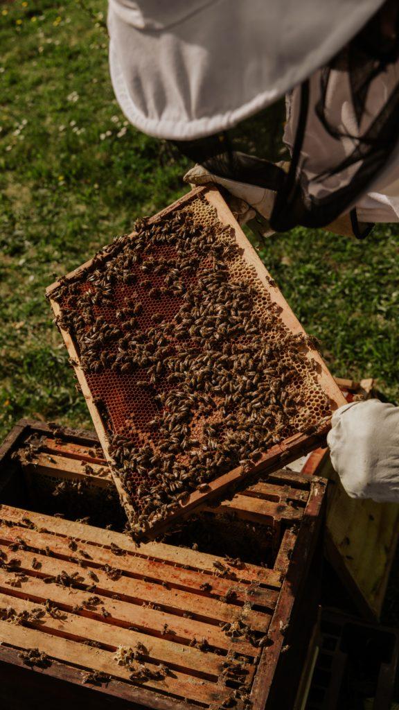 Imker mit einem Rähmchen voller Bienen
