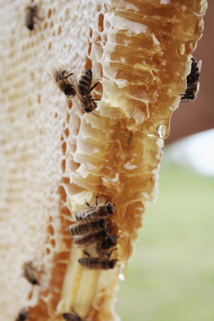 Bienen auf einer Wabe im Naturbau